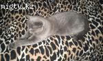 Породистый кот-голубой британец на вязку