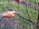 Обрезка плодовых деревьев .